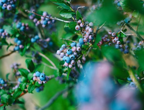 Wild Maine blueberries are still in-season